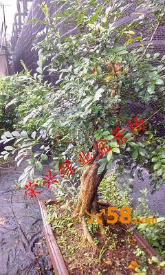 九里香盆景树桩造型实物拍照